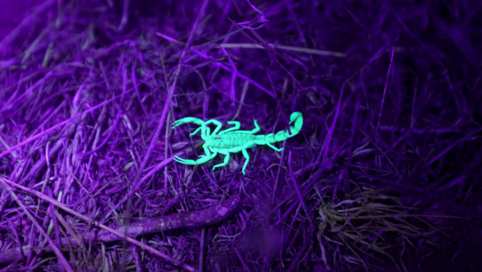 A small scorpion on a piece of dirt land glowing green under a purple UV light.
