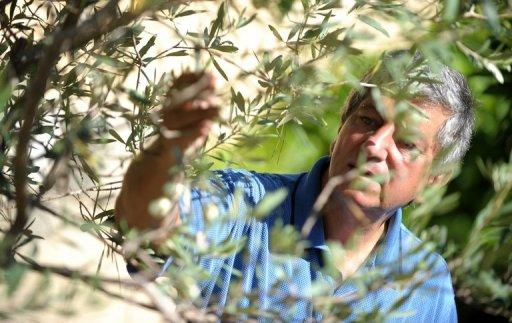 Olive expert Sam Cremona shows one of his white olive trees in Wardija, Malta. Because of the soil, climate and because the olives are pressed when they are always very fresh, the Maltese olive oil is extremely low in acidity