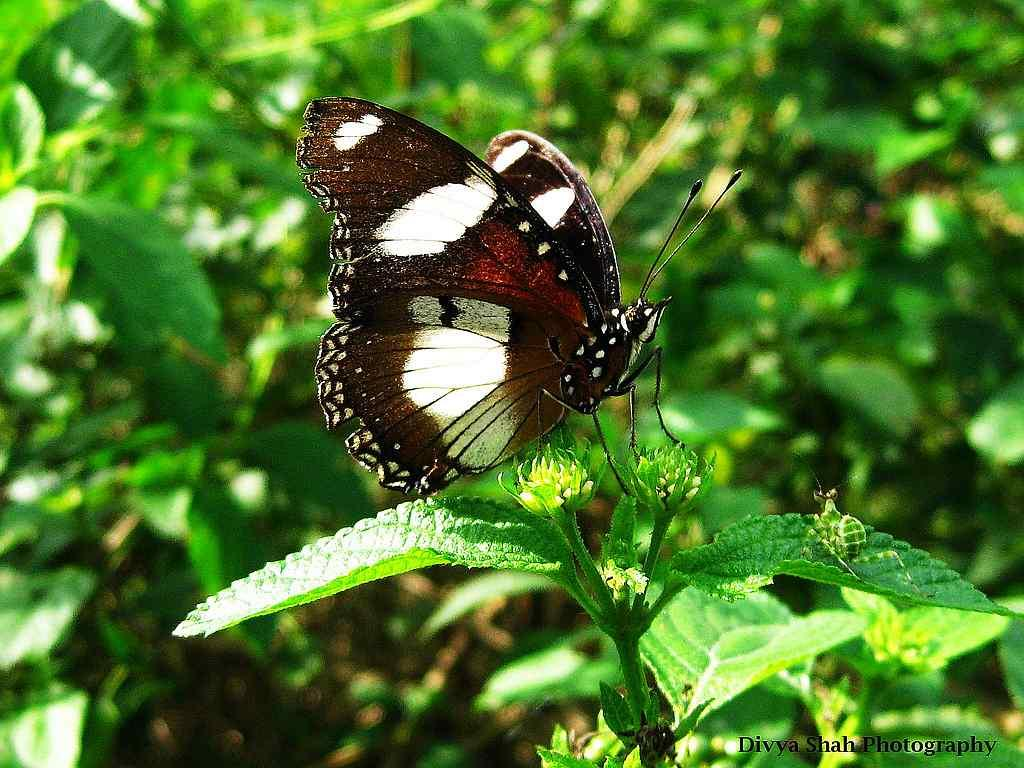 """Eggfly Butterfly <br>By <a target=""""_blank"""" href=""""http://www.flickr.com/photos/47811892@N08/"""">Divya@Shah</a>"""