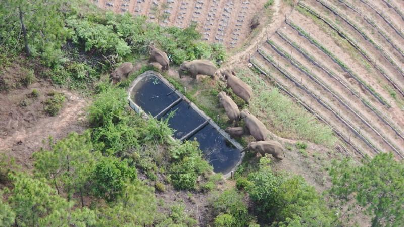Wild Asian elephants drink water from a pool at a village in Hongta district of Yuxi