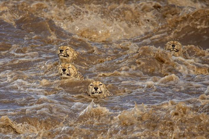four cheetahs grimace swimming against roiling brown waters