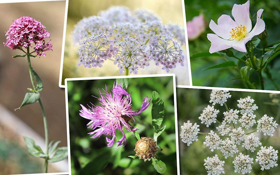 Clockwise from left: Red valerian, wild carrot, dog rose, cow parsley, knapweed