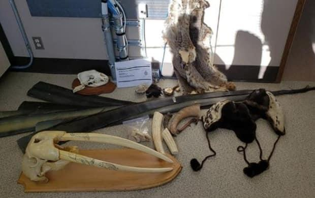 The seized goods include a walrus skull, ivory tusks, ornaments and pucks, whale baleen, sheep horns and more. (Canada Border Services Agency - image credit)