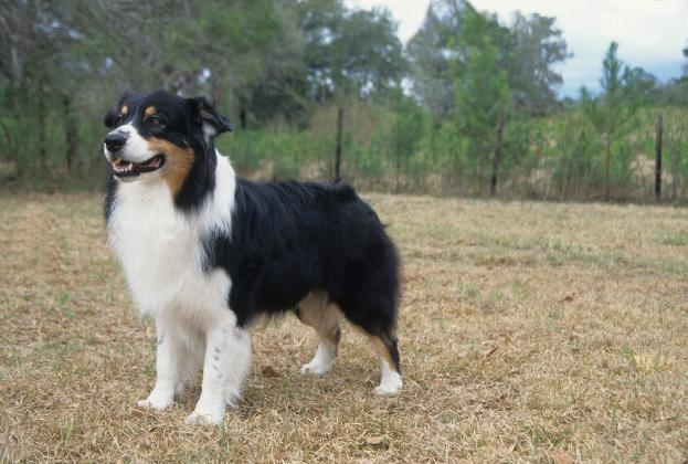 """<div class=""""caption-credit""""> Photo by: MARY BLOOM</div><div class=""""caption-title"""">Australian Shepherd</div>The smart and focused <a href=""""http://www.vetstreet.com/dogs/australian-shepherd"""" rel=""""nofollow noopener"""" target=""""_blank"""" data-ylk=""""slk:Australian Shepherd"""" class=""""link rapid-noclick-resp"""">Australian Shepherd</a> seems never to run out of energy. After he has brought in the morning newspaper, escorted the kids to the school bus, picked up their toys and dirty clothes from the floor and placed them in the appropriate receptacles, he's ready to help you do yard work by fetching tools or digging out weeds in your garden. Then he'll want you to throw a ball or flying disc for him to chase, practice for the weekend's agility or obedience trial, or take a brisk hour-long walk or hike. You'll wear out before he does unless you are equally active - and creative enough to keep him occupied."""