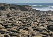 <p>Elephant seals snoozing the day away at a preserve in Piedras Blancas, CA // February 4, 2016</p>