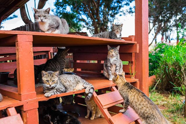 <p>Several cats relaxt at the shade at the Lanai Cat Sanctuary in Hawaii. (Photo: Andrew Marttila/Caters News) </p>