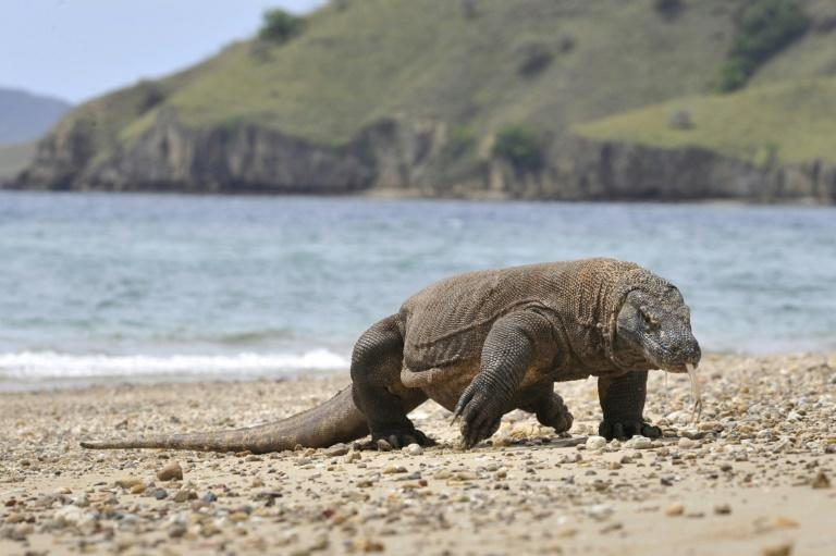 At least 30 percent of the Komodo dragon's habitat is projected to be lost in the next 45 years (AFP/Romeo GACAD)