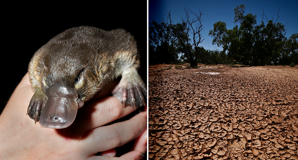Left. A platypus in a human hand. Right. A dry, cracked, drought affected paddock.