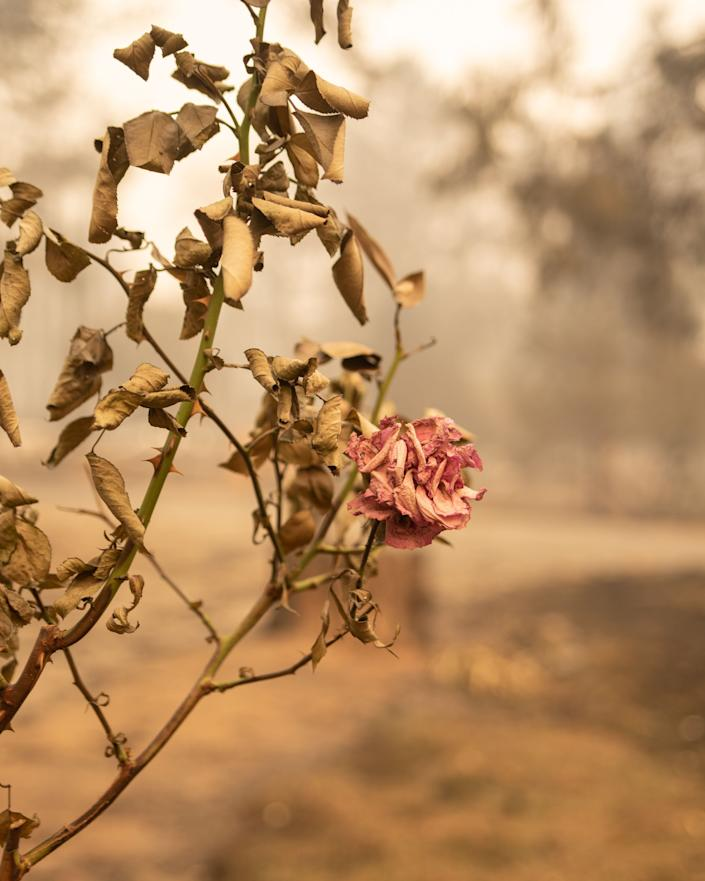 A rose bush burned by the Camp fire. (Photo: Cayce Clifford for HuffPost)