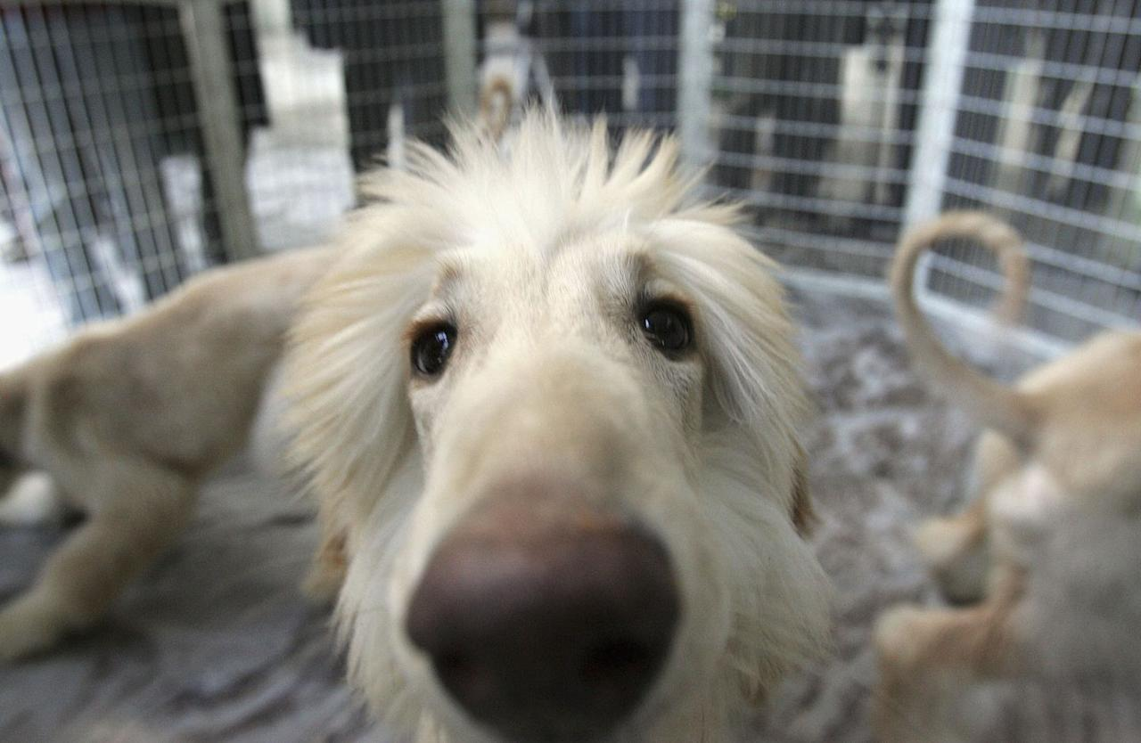<p>Up close and personal with this Afghan Hound. These stylish doggies don't only have a killer hairdo, they are also one of the oldest dog breeds known to man. So there's that! </p>