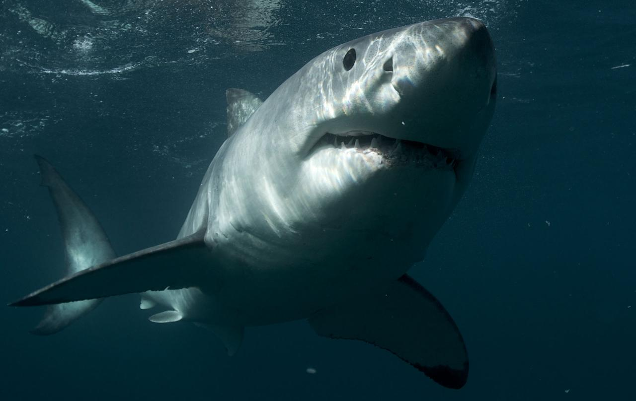 Great White Shark, New Zealand.