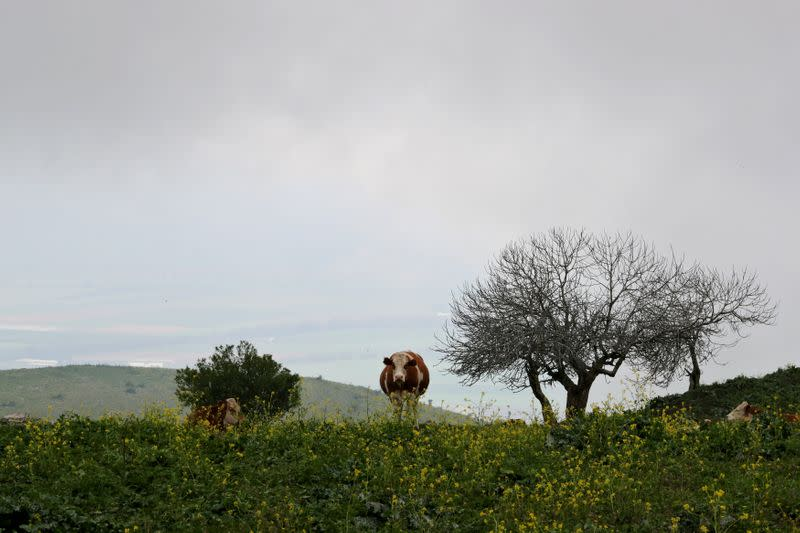 FILE PHOTO: Cows are seen in a field in the Israeli-occupied Golan Heights Wine from Israeli-held Golan Heights
