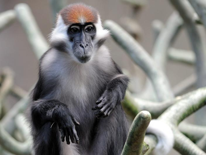 A Red-capped Mangabey.
