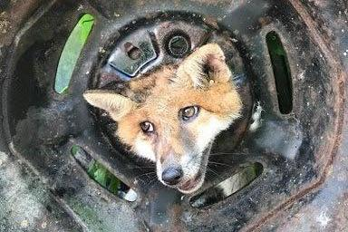 Lucky escape: The fox trapped in the wheel: RSPCA