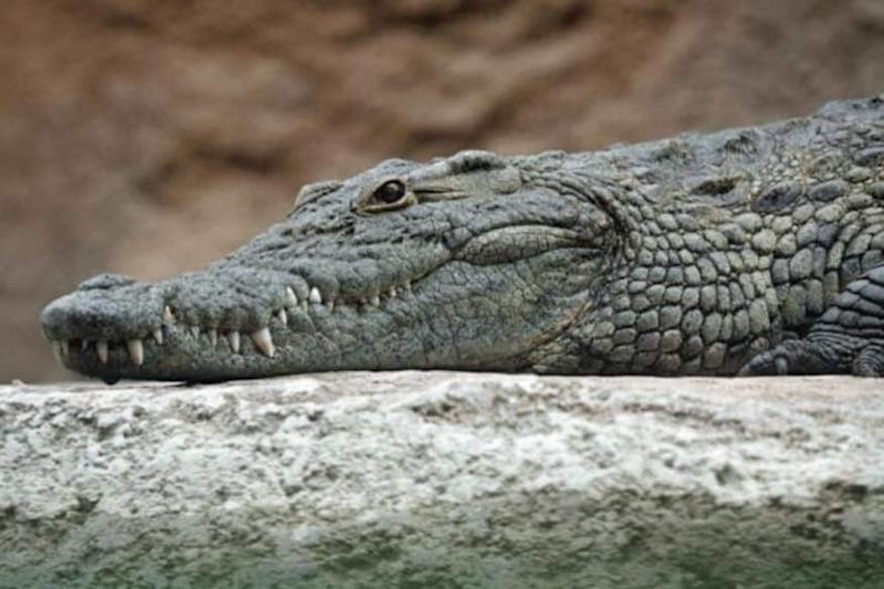 Alligator Rumored to Have Belonged to Adolf Hitler Dies in Moscow Zoo