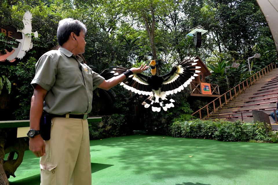 Mohd Saad bin Yahya, Assistant Manager of Animal Presentations and long time staff of Jurong Bird Park, with Sunny the hornbill at Pools Amphitheatre. 50 years on, Jurong Bird Park continues to connect people with nature and stays at the forefront of avian conservation and education. (PHOTO: Wild Reserves Singapore)