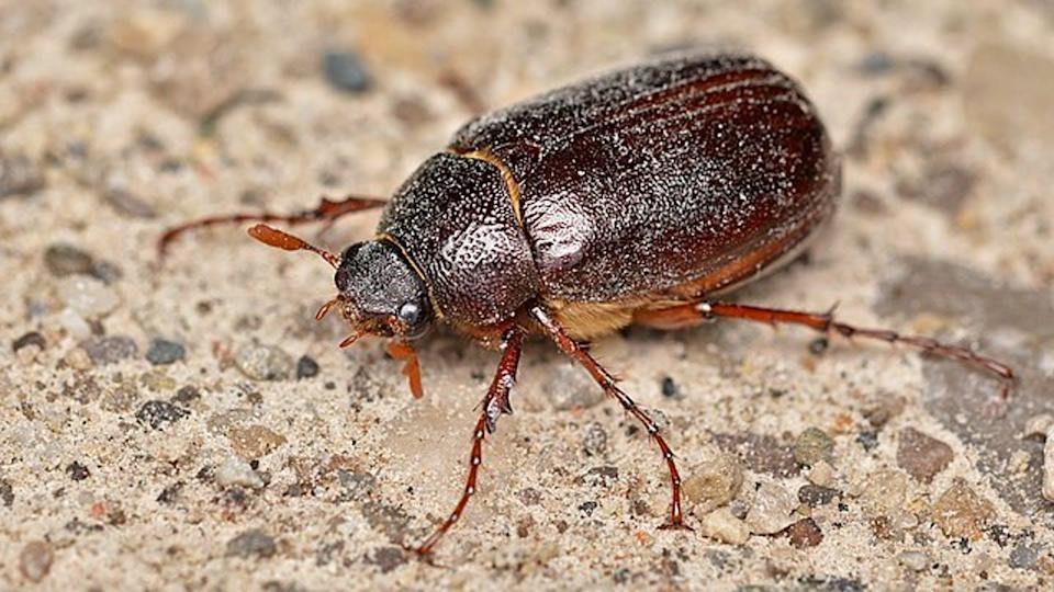 A large beetle resting on a paved surface.