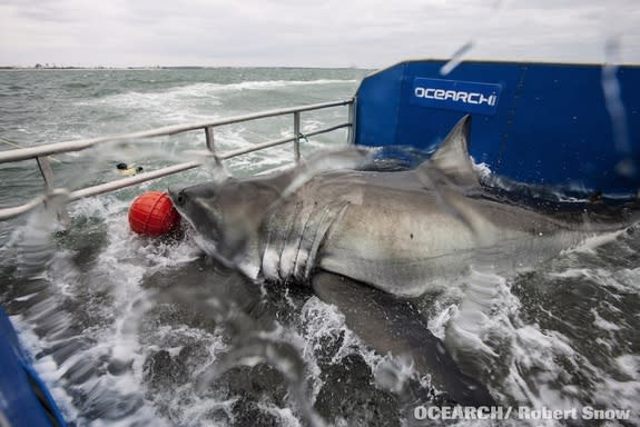 """""""Lydia"""" the great white shark aboard the OCEARCH research vessel during a tagging expedition."""
