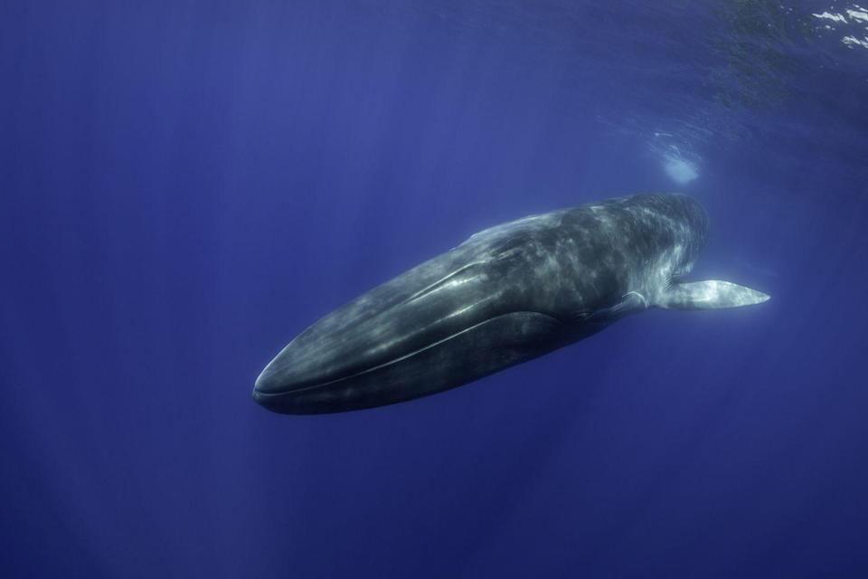 <p><strong>Blue Whale - </strong>Considered endangered by the IUCN Red List, the blue whale was once found in all of earth's oceans. Today, with only a population of less than 25,000 the blue whale solely exists in eastern North Pacific, Antarctic and Indian Oceans.</p>