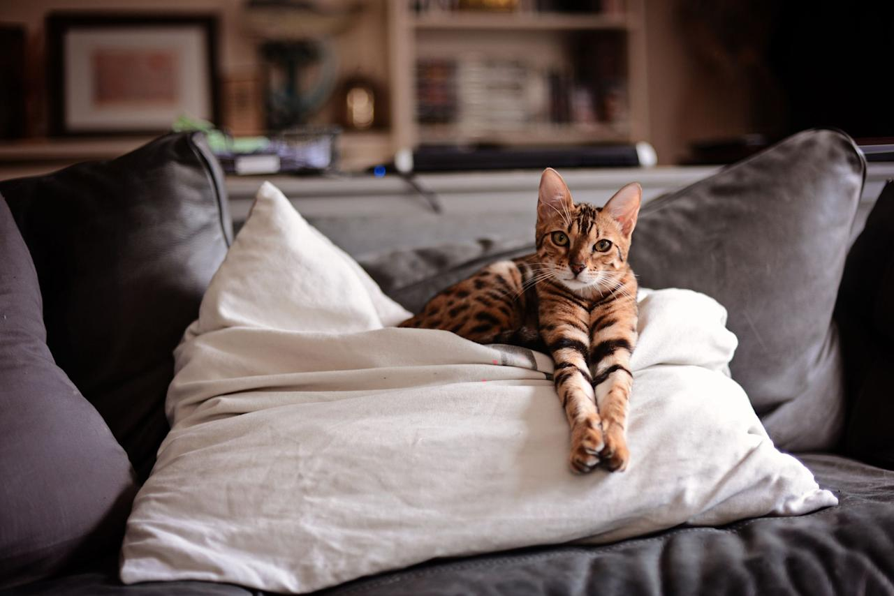 "<p>As cute and cuddly as tigers look, it's probably not news to you that they don't make for the best pets.  What you may not know, however, is that there are plenty of  <a href=""https://www.womansday.com/life/pet-care/g27560818/small-cat-breeds/"" target=""_blank"">domestic cats</a> that bear a pretty wild resemblance to wilder felines. Rather than an American Shorthair or a tabby, you might consider a cat that looks like a tiger for your next family pet. Whether you choose to let them roam outdoors or stay inside, cats that look like tigers are not only incredibly beautiful — they'll also make a very cool addition to your home. </p><p>From spotted to striped, we've rounded up the eight cat breeds that most resemble their big-boned relatives (and are most likely to make your friends and family do a double-take). After all, your household probably already feels like a circus, so why not make it official with a house cat that might as well be a wildcat? <br></p>"