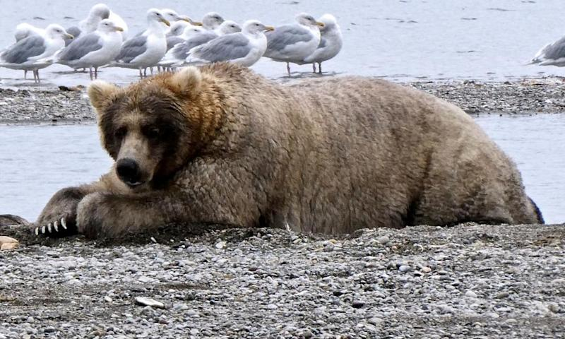 Fat bear week: America's most body positive contest nears climax
