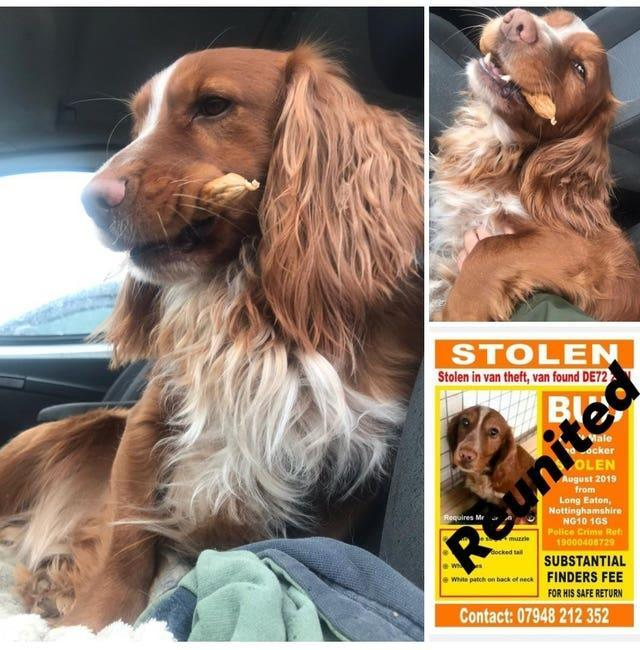 Bud the Cocker Spaniel, belonging to Holly Morgan from Nottingham