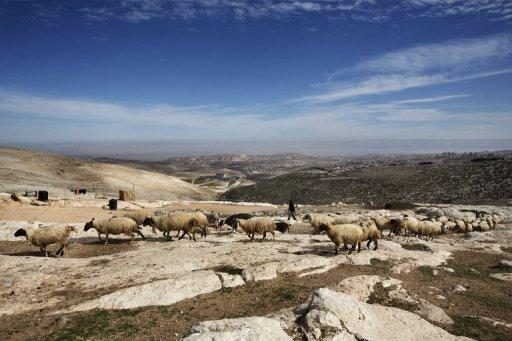 A Bedouin man herds sheep in the E1 area, between Jerusalem and the Israeli West Bank settlement of Maale Adumim on Monday. Israel's government on Tuesday stood firm in the face of mounting international pressure as it pushed ahead with a swathe of settlement plans seen as threatening the viability of a future Palestinian state
