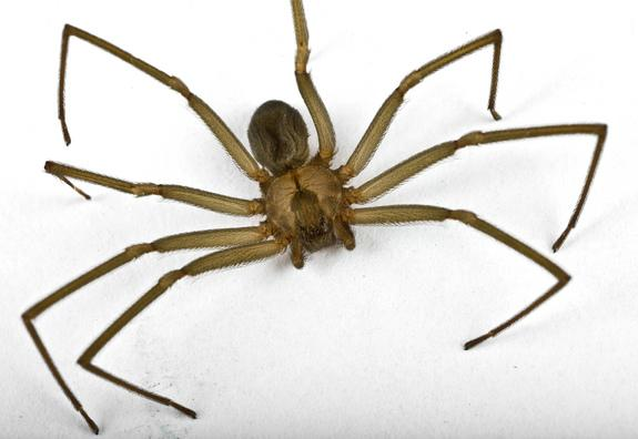 Weird Delay in Pain from Brown Recluse Spider Bite Explained