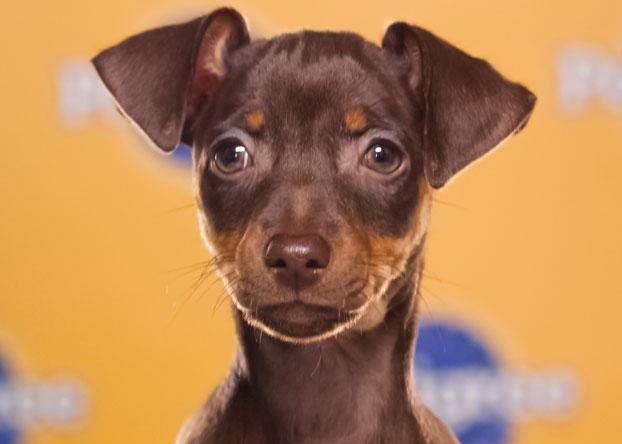 "Agatha, a 9-week-old miniature pinscher, loves to be the center of attention and ""get everyone going."" (Photo by Keith Barraclough/DCL)"