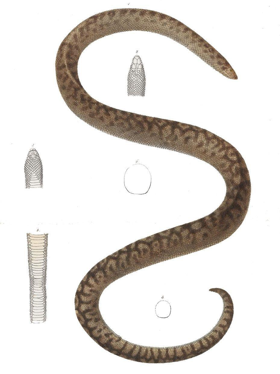 <p>Native to Round Island, a tiny island off the coast of Mauritius, the Round Island Burrowing Boa preferred to live on the topsoil layers of volcanic slopes. It was once found on several other islands around Mauritius, but its population had dwindled by the 1940s, and it could only be found on Round Island after 1949. It was last seen in 1975.</p><p><strong>Cause of Extinction:</strong> the introduction of non-native species of rabbits and goats to the island destroyed vegetation and upset the boa's habitat, leading to its eventual extinction.</p>