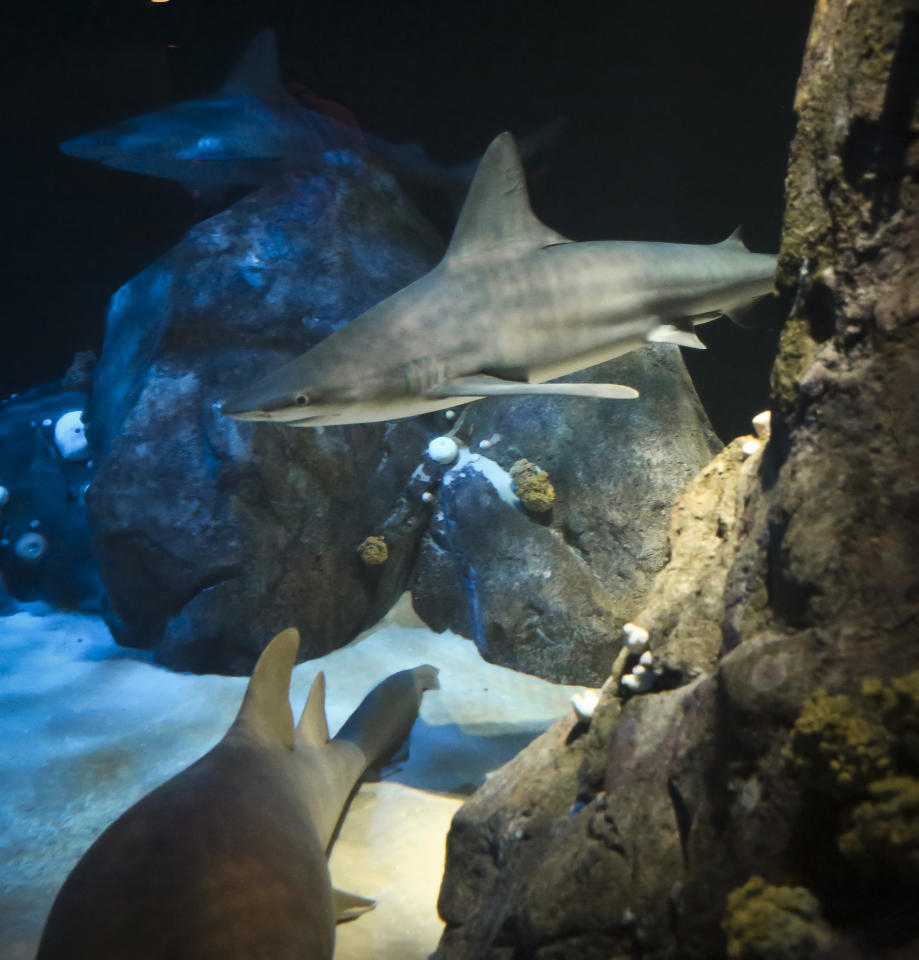 """In this June 20, 2018, photo, sharks swim in a 379,000-gallon tank at New York Aquarium's latest exhibit """"Ocean Wonders: Sharks!"""" in New York. Cue the """"Jaws"""" music. Sharks are the stars of the splashy new exhibit hall at the aquarium that marks a major step in the beachfront facility's recovery from the devastating impact of 2012's Superstorm Sandy. (AP Photo/Emiliano Rodriguez Mega)"""