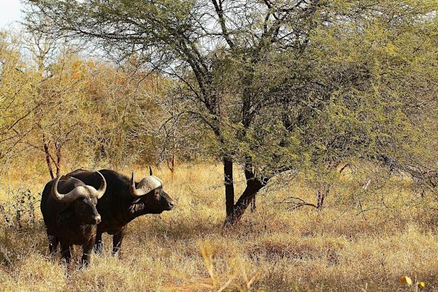 Cape Buffalo graze in Edeni Game Reserve, a 21,000 acre wilderness area near Kruger National Park in South Africa.