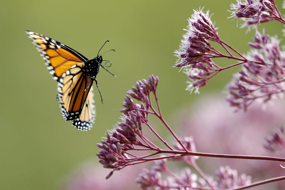 FILE - In this Aug. 28, 2019 file photo, a Monarch butterfly flies to Joe Pye weed, in Freeport, Maine. Monarch butterflies are among well known species that best illustrate insect problems and declines, according to University of Connecticut entomologist David Wagner, lead author in a special package of studies released Monday, Jan. 11, 2021, written by 56 scientists from around the globe. (AP Photo/Robert F. Bukaty)