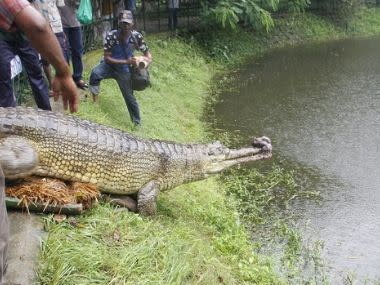 Future of Bangladesh's gharial crocodiles seems more hopeful as nearly extinct species mates, lays eggs
