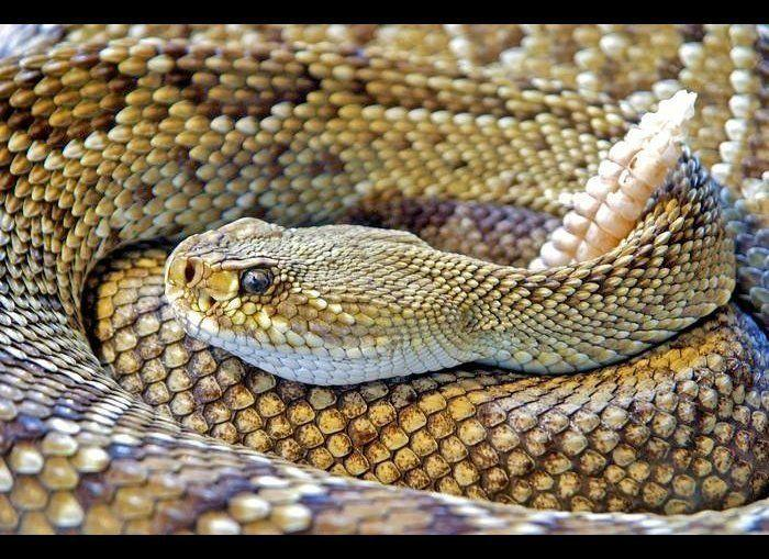 "These snakes are commonly found throughout North and <a href=""http://www.theactivetimes.com/content/11-reasons-you-need-explore-south-america-slideshow"" target=""_hplink"">South America</a>. They are the largest of the venomous snakes in the United States, according to the <a href=""http://www.cdc.gov/niosh/topics/snakes/types.html"" target=""_hplink"">CDC</a>. Depending on the species, they can range from one to eight feet. Be careful during hot summer nights when they are most active. They will use their rattles as a warning to you when they feel threatened. <em>Photo Credit: Pixabay</a></em> <a href=""http://www.theactivetimes.com/content/world-s-most-dangerous-snakes-0/slide-2?slide=4?slide=4?slide=4?slide=4?slide=4?utm_source=huffington%2Bpost&utm_medium=partner&utm_campaign=travel"" target=""_hplink""><strong>Click Here to See The World's Most Dangerous Snakes</strong></a>"