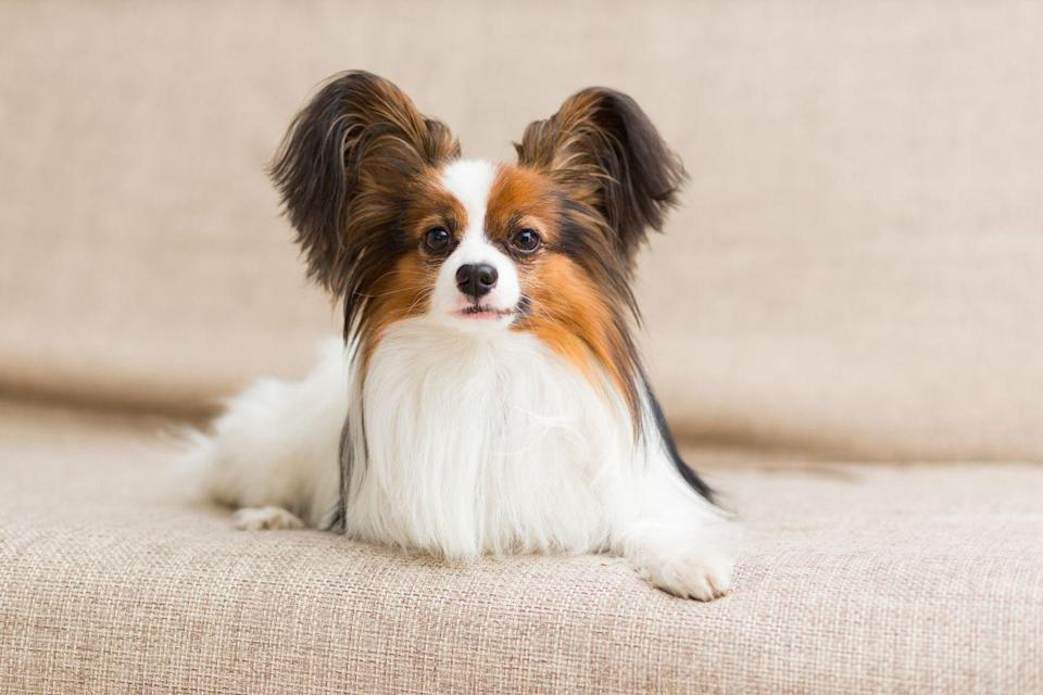 """<p>In French, papillon means """"butterfly,"""" which is perfect for this delicate dog and its fluffy butterfly ears. According to Vet Street <a href=""""http://www.vetstreet.com/dogs/papillon"""" rel=""""nofollow noopener"""" target=""""_blank"""" data-ylk=""""slk:papillons can be three to 12 pounds"""" class=""""link rapid-noclick-resp"""">papillons can be three to 12 pounds</a> and less than a foot tall — not including those ears of course.</p>"""