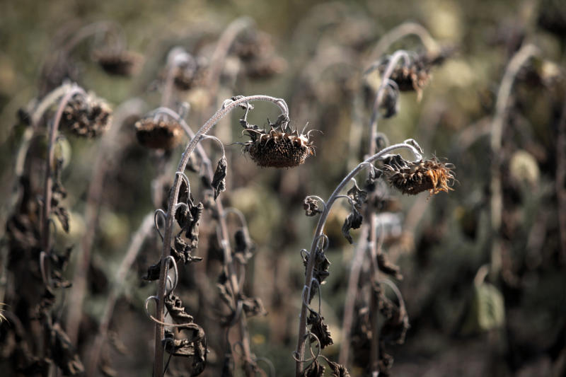 Dried sunflowers are seen in a field near the Bulgarian capital Sofia, Thursday, Aug 23, 2012  After the harshest winter in decades, the Balkans in the southeast of Europe is now facing its hottest summer and the worst drought in what officials across the region say is nearly 40 years. The record-setting average temperatures  which scientists say have been steadily rising over the past years as the result of the global warming  have ravaged crops, vegetable, fruit and power production in the region which is already badly hit by the global economic crisis.. (AP Photo/Valentina Petrova)