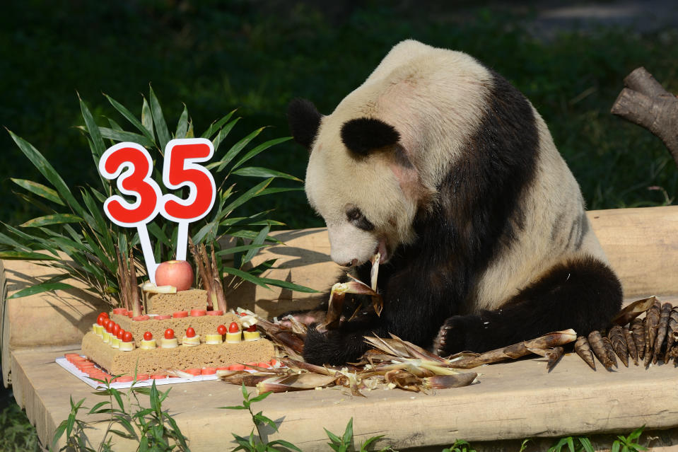 CHONGQING, CHINA - SEPTEMBER 16:  Giant panda Xin Xing eats birthday cake during 35th birthday at Chongqing Zoo on September 16, 2017 in Chongqing, China. Visitors thronged Chongqing Zoo to witness the birthday of giant panda Xin Xing.  (Photo by Visual China Group via Getty Images/Visual China Group via Getty Images)