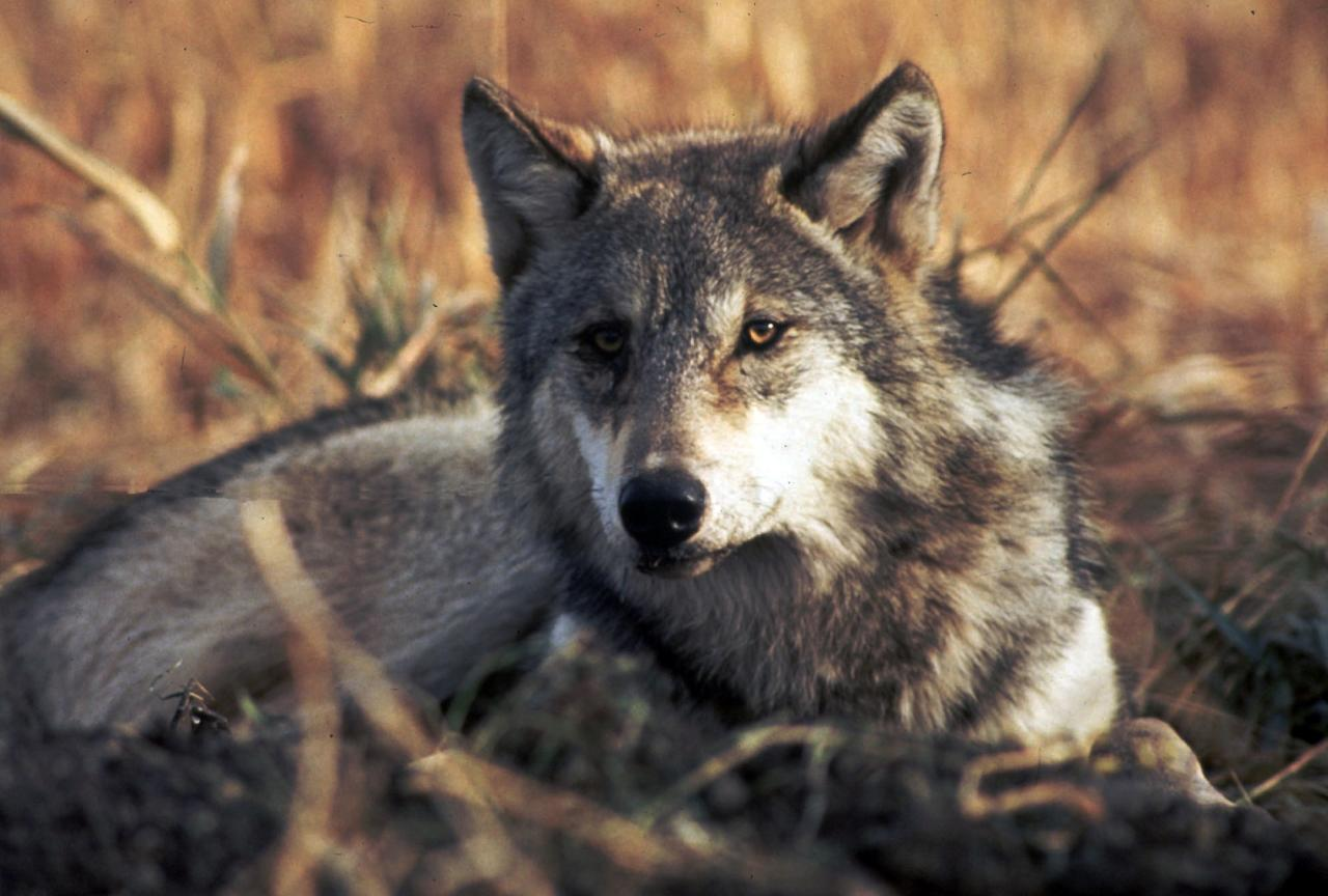 FILE - This undated file image provided by the U.S. Fish and Wildlife Service shows a grey wolf. A rider expected to pass on the tails of a federal budget bill that is needed to avert a government shutdown would take gray wolves off the endangered species list across most of the Northern Rockies.