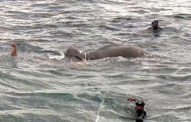 <p>Dramatic visuals show the Sri Lankan navy men rescuing an elephant from drowning after a strong current dragged the jumbo deep into the sea. (Photo: Caters News) </p>