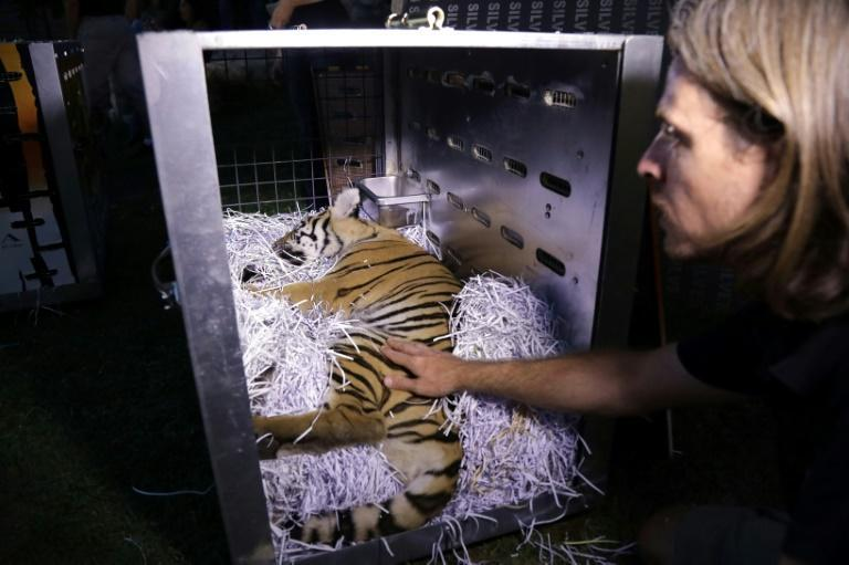Animals Lebanon drugged the animals and loaded each one into boxes decorated with tiger stripes and their names: May, Antoun, and Tanya