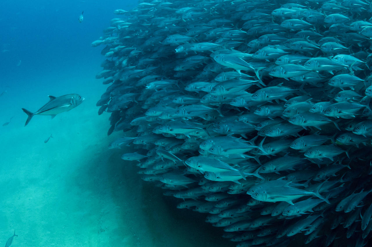 PIC BY OCTAVIO ABURTO / CATERS NEWS - (PICTURED The school of fish) - Smile - its the school photo! This is the hilarious moment a marine photographer managed to capture hundreds of wide-eyed fish apparently posing for a picture. Californian photographer and conservationist Octavio Aburto had spent years photographing the school in Cabo Pulmo National Park, Mexico - and had been trying to capture this exact shot for three years. The Bigeye travellies fish gather in their thousands in the oceans during courtship. SEE CATERS COPY