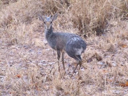 A very soggy dikdik (Madoqua sp.) after the rainstorm finally ended. Photo by Anne-Marie Hodge