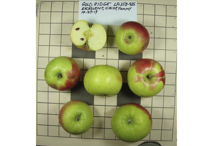This 2019 photo provided by the Temperate Orchard Conservancy in Molalla, Ore., shows apples that were collected by David Benscoter and EJ Brandt of the Lost Apple Project in northern Idaho and eastern Washington. They are identified as being of the Gold Ridge variety, which is one of 10 apple varieties in the Pacific Northwest that were planted by long-ago pioneers and had been thought extinct. (Joanie Cooper/Temperate Orchard Conservancy via AP)