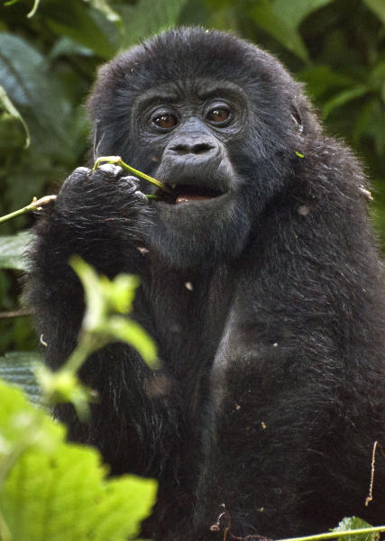 This photo taken Monday, April 18, 2011 and released by the conservation group Gorilla Doctors on Friday, Nov. 16, 2012, shows a mountain gorilla in Bwindi Impenetrable National Park in Uganda. The population of Uganda's mountain gorillas has grown to 400, up from 302 in 2006, according to a census conducted in 2011, bringing the total number of mountain gorillas in Africa to 880 and giving hope to conservationists trying to save the critically endangered species. (AP Photo/Gorilla Doctors)