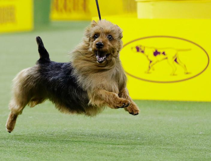 Bacon, an Australian terrier, competes with the terrier group at the 143rd Westminster Kennel Club Dog Show, Feb. 12, 2019, in New York.(AP Photo/Frank Franklin II)