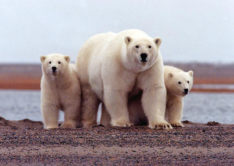 File photo of a polar bear keeping close to her young along the Beaufort Sea coast in the Arctic National Wildlife Refuge