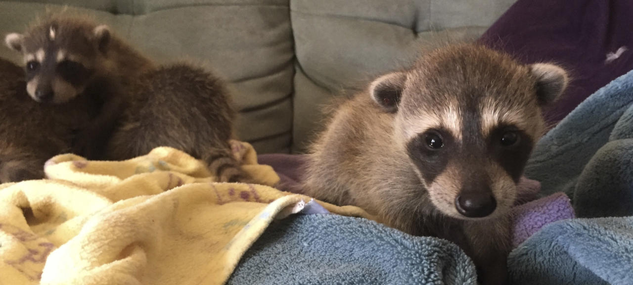 In this photo taken on Sept. 19, 2016, and provided by WildCare, baby raccoons that inadvertently hitched a ride from Florida to Marin County in Northern California are nursed back to health at WildCare in San Rafael, Calif. The raccoons are now recovering at the Oakland Zoo. Animal care authorities said Tuesday, Jan. 17, 2017, that in September a man had unknowingly transported the raccoons from Florida to Marin County in a moving truck. (Marie-Noelle Marquis/WildCare via AP)