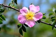 <p>Also known as Smooth Wild Rose, this no-nonsense North American native produces lots of pink flowers throughout the summer months. Its fragrant blossoms are followed by red fruits that attract birds. </p>