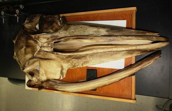 A fin whale skull helped researchers study the acoustical properties of whale skulls.